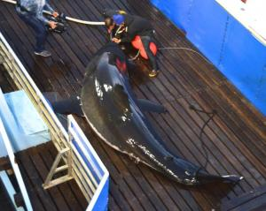 Mary Lee aboard the M/V OCEARCH in Sept. 2012. A Global Shark Tracker, where one can observe the navigational patterns of sharks that have been tagged by the organization, can be followed on their website at OCEARCH.org. (Photo courtesy of OCEARCH)