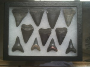 The bottom row of teeth are from great white sharks' lower jaws. The biggest tooth here is 2 1/4 inches...