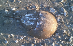 Poor girl didn't quite make it back from whence she came. Female horseshoe crabs are larger than males and this one was well over a foot long.
